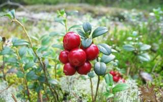 Брусника садовая посадка и уход