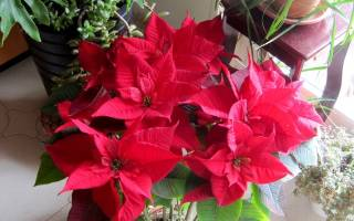 Комнатный цветок с красными листьями на верхушке
