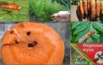 Как избавиться от морковной мухи на огороде