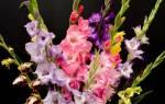 Семена гладиолусов: как выглядят, сбор и выращивание