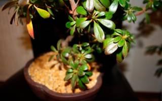 Почему не цветет азалия комнатная