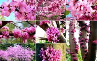 Сиреневое дерево церцис