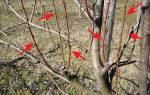 Что такое волчки на плодовых деревьях