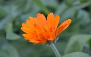 Ноготки цветы выращивание