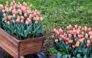 Посадка тюльпанов весной в горшки