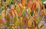 Как ухаживать за вишней осенью