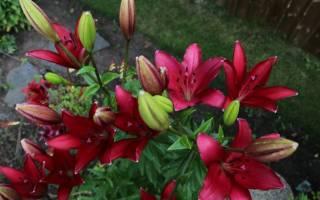 Лилии ЛА-гибриды: описание, сорта и выращивание