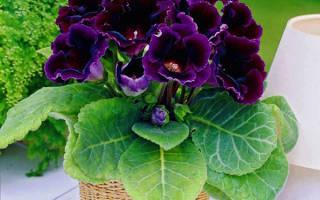 Комнатные растения глоксиния уход