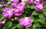 Цветок бальзамин уход в домашних условиях
