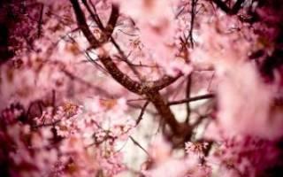 Подрезка вишни весной