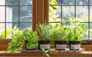 Какие пряные травы можно вырастить на подоконнике