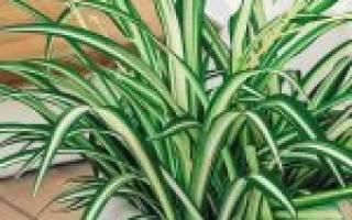 Хлорофитум хохлатый: описание и рекомендации по выращиванию