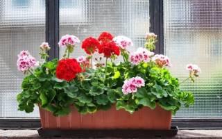 Как вырастить красивую герань дома