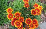 Цветы газания выращивание уход сохранение как многолетник
