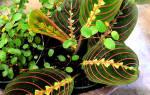 Маранта: описание, уход и размножение в домашних условиях