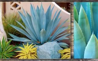Агава голубая: как выглядит и растет?