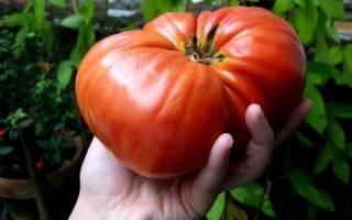 Лучшие сорта крупноплодных томатов для теплиц