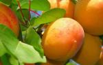 Где растут абрикосы в России