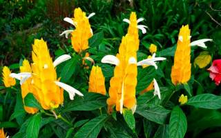 Цветок пахистахис как ухаживать