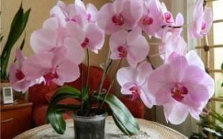 Что делать со стрелкой орхидеи после цветения
