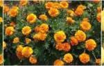 Как посадить бархатцы семенами в открытый грунт