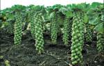 Как вырастить брюссельскую капусту на огороде
