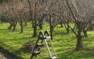 Обрезка молодых плодовых деревьев осенью