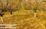 Как правильно подрезать деревья осенью
