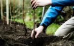 Как пересадить малину осенью на новое место