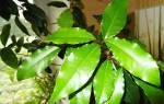Как размножается лавровое дерево