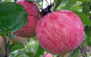Яблоня мельба посадка и уход