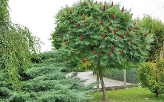 Уксусное дерево посадка уход
