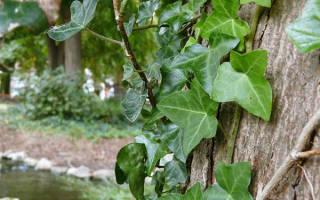 Плющ садовый: особенности, посадка и уход