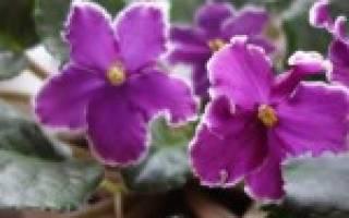 Мягкие и вялые листья у фиалки: причины и устранение увядания