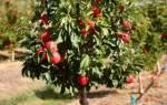 Саженцы низкорослых плодовых деревьев