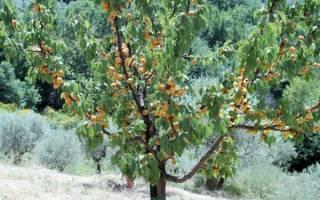 Как ухаживать за абрикосовым деревом