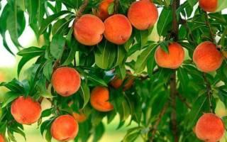 Как правильно посадить абрикос весной