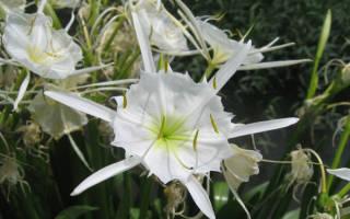 Гименокаллис выращивание в саду