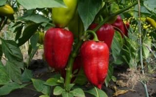 Почему не краснеют перцы в теплице