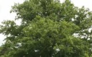 Как правильно посадить ореховое дерево