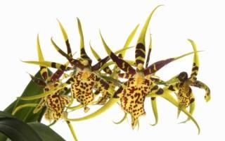 Орхидея брассия: особенности, виды и уход