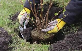 Когда лучше пересаживать деревья весной или осенью
