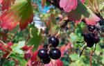 Как ухаживать за черной смородиной осенью