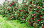 Какую яблоню посадить в подмосковье