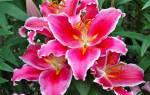Лилии восточные гибриды посадка и уход