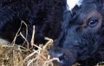 Если теленок кашляет что надо делать