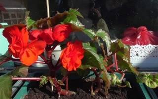Бегония «Нон-стоп»: описание, виды и выращивание