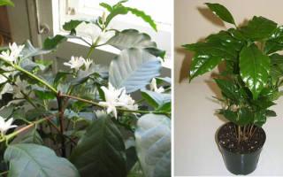 Кофе арабика комнатное растение сохнут листья