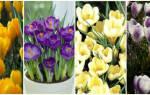 Цветок крокус как ухаживать посадка и уход