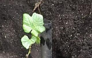 Правила посадки винограда осенью